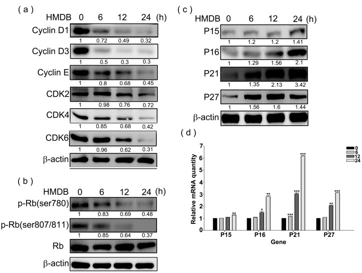 Effects of HMDB on the expression of G1-related cyclins, cyclin-dependent kinases (CDKs), and CDK inhibitors (CKIs). ( a ) Relative protein expression levels of cyclin D1/D3/E, and CDK4/6/2 expressed in the G1 phase; ( b ) the total and phosphorylated forms of retinoblastoma (Rb) with specific antibodies for each; and ( c ) the change in the protein expression levels of CKIs (p15, p16, p21, and p27). HeLa cells were exposed to 40 μM HMDB for the indicated times. Then, cellular extracts were harvested and the protein levels were visualized by Western blotting using antibodies against G1 cell cycle regulators as indicated. The β-actin acts as an internal control for evaluating protein loading; and ( d ) the changes in mRNA expression levels of CKIs, including p15, p16, p21, and p27, by HMDB. The relative amounts of target mRNA, collected from HMDB-treated HeLa cells, were determined by qRT-PCR for the indicated time. All of the results that come from independent experiments three times are expressed as mean ± SE. The relative amounts of protein levels on the Western blots were quantitated with a computerized densitometer (ImageQuant LAS4000 Digital System, GE Healthcare, Uppsala, Sweden) compared to the control group. Values were statistically significant for * p