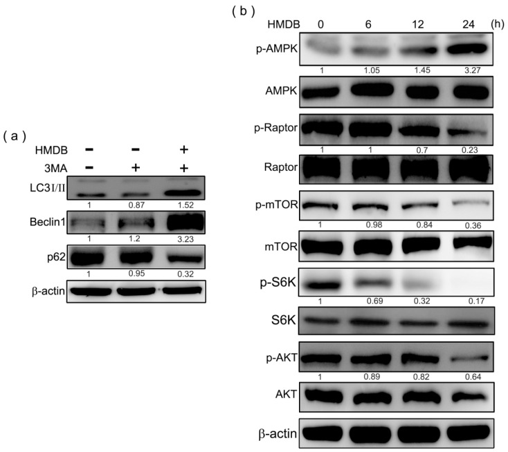 Modulation of class III PI-3K and AMPK/Akt/mTOR signaling was linked to HMDB-induced cell cycle arrest and autophagy in HeLa cells. ( a ) The cells were pretreated with 1 mM autophagy inhibitor, 3-methyladenine, followed by 40 μM HMDB treatment for 24 h. The expression of the indicated proteins was determined by Western blotting; ( b ) HeLa cells were incubated in the presence of 40 μM HMDB for various time points. Cell extracts were harvested for determining the indicated protein expression by Western blotting. The densities of the band on the Western blots from three independent experiments were calculated using a computerized densitometer (ImageQuant LAS4000 Digital System).