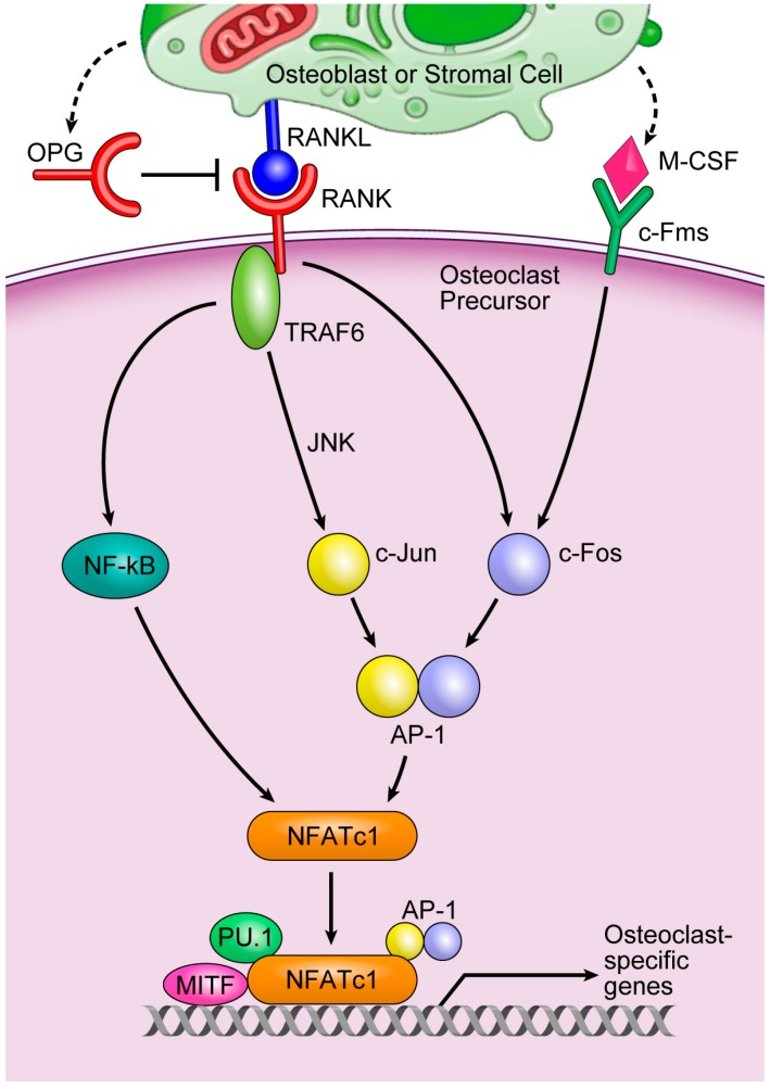 A key osteoclastogenesis signaling cascade. Cited from [ 2 ]. The binding of M-CSF to its receptor, c-Fms, induces the transcription factor c-Fos, whereas the binding of RANKL to its receptor, RANK, leads to the recruitment of TNF-receptor-associated factor 6 (TRAF6), the main adapter molecule of RANK. TRAF6 activates nuclear factor κB (NF-κB) and mitogen-activated kinases including c-Jun N-terminal kinase (JNK). JNK activates the transcription factor c-Jun. RANKL/RANK also induces c-Fos to form AP-1, a heterodimeric transcription factor, with c-Jun. AP-1 and NF-κB then induce NFATc1, a master transcription factor that regulates osteoclast differentiation. NFATc1 works with other transcription factors, such as AP-1, PU.1, and microphthalmia-associated transcription factor (MITF) to induce various osteoclast-specific genes.