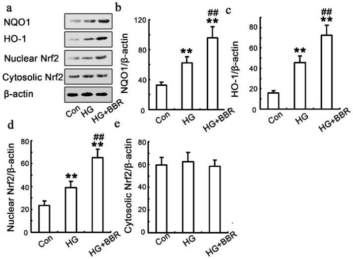 Influence of BBR on HG-induced Nrf2/HO-1 signaling in NRK-52E cells . The NRK-52E cells were treated with 30 mM HG for 48 h, in the presence or absence of BBR. The expression NQO1, HO-1 and Nrf2 was analyzed using western blot ( n = 6). ( a – e ) The results were representatives of three independent experiments. β-actin was used as loading control. (** p