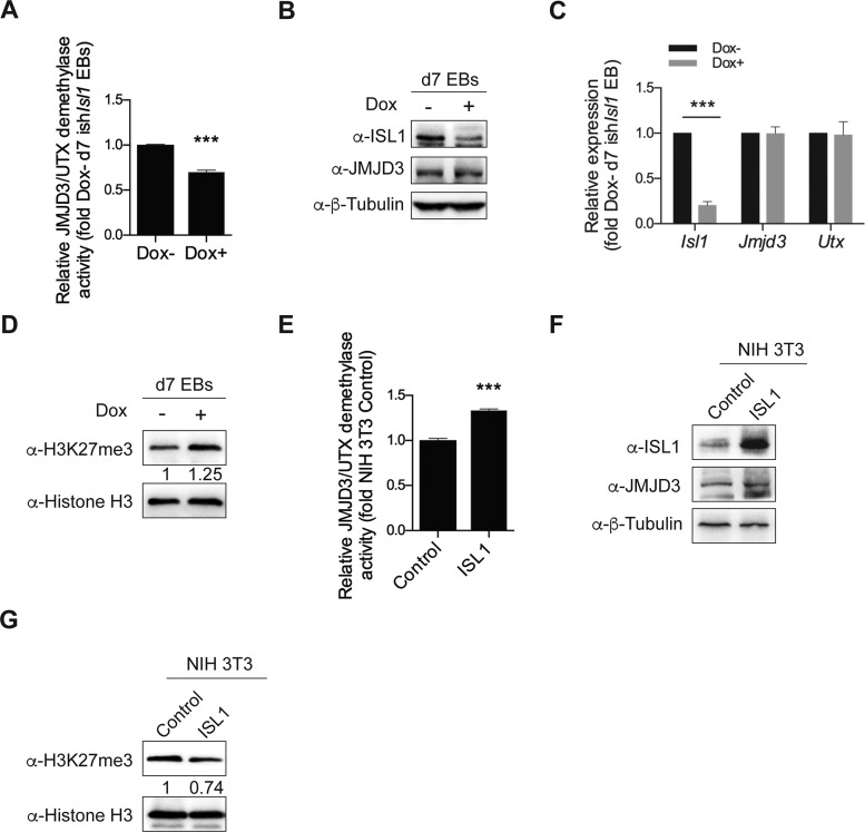 ISL1 modulates the demethylase activity of JMJD3. ( A ) Relative JMJD3/UTX demethylase activity of nuclear extracts from day 7 EBs differentiated from ish Isl1 ESCs in the presence or absence of Dox. ( B ) Western blot analysis of total cell lysates of day 7 EBs differentiated from ish Isl1 ESCs in the presence or absence of Dox. β-Tubulin served as a loading control. ( C ) Relative mRNA expression of Isl1, Jmjd3 and Utx of day 7 EBs differentiated from ish Isl1 ESCs in the presence or absence of Dox. (D) Western blot analysis of histone extracts of day 7 EBs differentiated from ish Isl1 ESCs in the presence or absence of Dox. Histone H3 served as a loading control. (E) Relative JMJD3/UTX demethylase activity of nuclear extracts from NIH-3T3 cells transient transfected with control or ISL1 expression construct. (F) Western blot analysis of total cell lysates of NIH-3T3 cells transient transfected with control or ISL1 expression construct. β-Tubulin served as a loading control. (G) Western blot analysis of histone extracts of NIH-3T3 cells transient transfected with control or ISL1 expression construct. Histone H3 served as a loading control. Optical densities of protein bands were quantified by Image J software and relative expression levels of H3K27me3 to Histone H3 were shown in D and G. Data in A, C and E are mean ± SD, n = 3. *** P