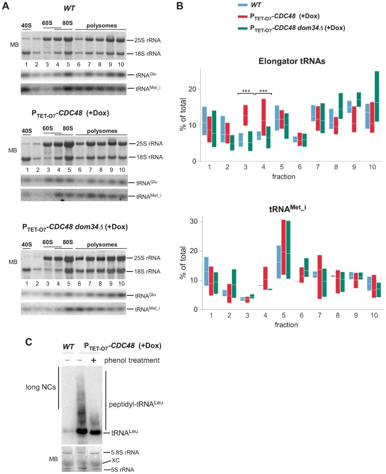 Enrichment of elongator tRNAs in 60S fractions in Cdc48-depleted cells depends on Dom34. We treated individual ribosome-containing sucrose gradient fractions with proteinase K to separate tRNAs from the conjugated peptides. Next, the extracted RNAs were sequentially analyzed by northern hybridization of the same membrane with probes that detect tRNA Met_i , tRNA Glu , tRNA Leu , tRNA Val , tRNA Thr . The 18S and 25S rRNAs were analyzed on all membranes to verify alignment of the gradient fractions. ( A ) A representative example of the distribution of rRNA and tRNAs in gradient fractions is shown; see Supplementary Figure S4 for full hybridization sets. ( B ) The percentage of tRNAs in each fraction relative to the total was determined using phosphorimager quantification of the hybridization signals. The floating bars represent the full range of values obtained in each fraction (min to max) and the crossing lines indicate the mean. Four elongator tRNAs (top) or tRNA Met_i (bottom) were quantified in gradients prepared from 2 biological replicates of wild-type cells, 3 replicates of P TET-O7 -CDC48 and three replicates of dom34Δ P TET-O7 -CDC48 cells. ( C ) RNA in ribosomes pelleted from the 60S gradient fractions of the indicated strains was resolved on an acid-urea polyacrilamide gel and analyzed by northern hybridization using a radioactively labeled probe against tRNA Leu . Treatment with phenol ('+') was used to selectively remove long peptidyl-tRNAs. Prior to hybridization, the membrane was stained with methylene blue (MB) to control loading by visualizing 5S and 5.8S rRNAs in the 60S subunits. XC, the xylene cyanol band.