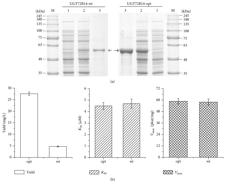 Result of the recombinant protein yield and salidroside production in vitro . (a) SDS-PAGE analysis of the recombinant protein expression and purification. Lane M: protein molecular weight markers. Lane 1: total protein in uninduced strain. Lane 2: total protein in induced strain. Lane 3: concentrated protein after being purified by Ni affinity chromatography and <t>PD-10</t> column. Sample of 15 μ L was used for SDS-PAGE analysis. Target protein is indicated by arrows. (b) Result of salidroside production catalysed by UGT72B14 in vitro . Protein yield data of the optimized UGT72B14 was obtained by purified protein after induction of 7 h initiated with OD 600 = 0.325 ± 0.021 while that of the wild-type UGT72B14 was obtained by purified protein after induction of 9 h initiated with OD 600 = 0.632 ± 0.031. The recombinant enzyme catalysis reaction system (100 μ L) contained 50 mM Tris-HCl (pH 7.5), 2 mM UDP-glucose, 250 μ M tyrosol, and the enzyme protein of 0.2 mg, proceeded for 30 min at 30°C, and terminated with 200 μ L MeOH. Data were presented as mean ± SD.