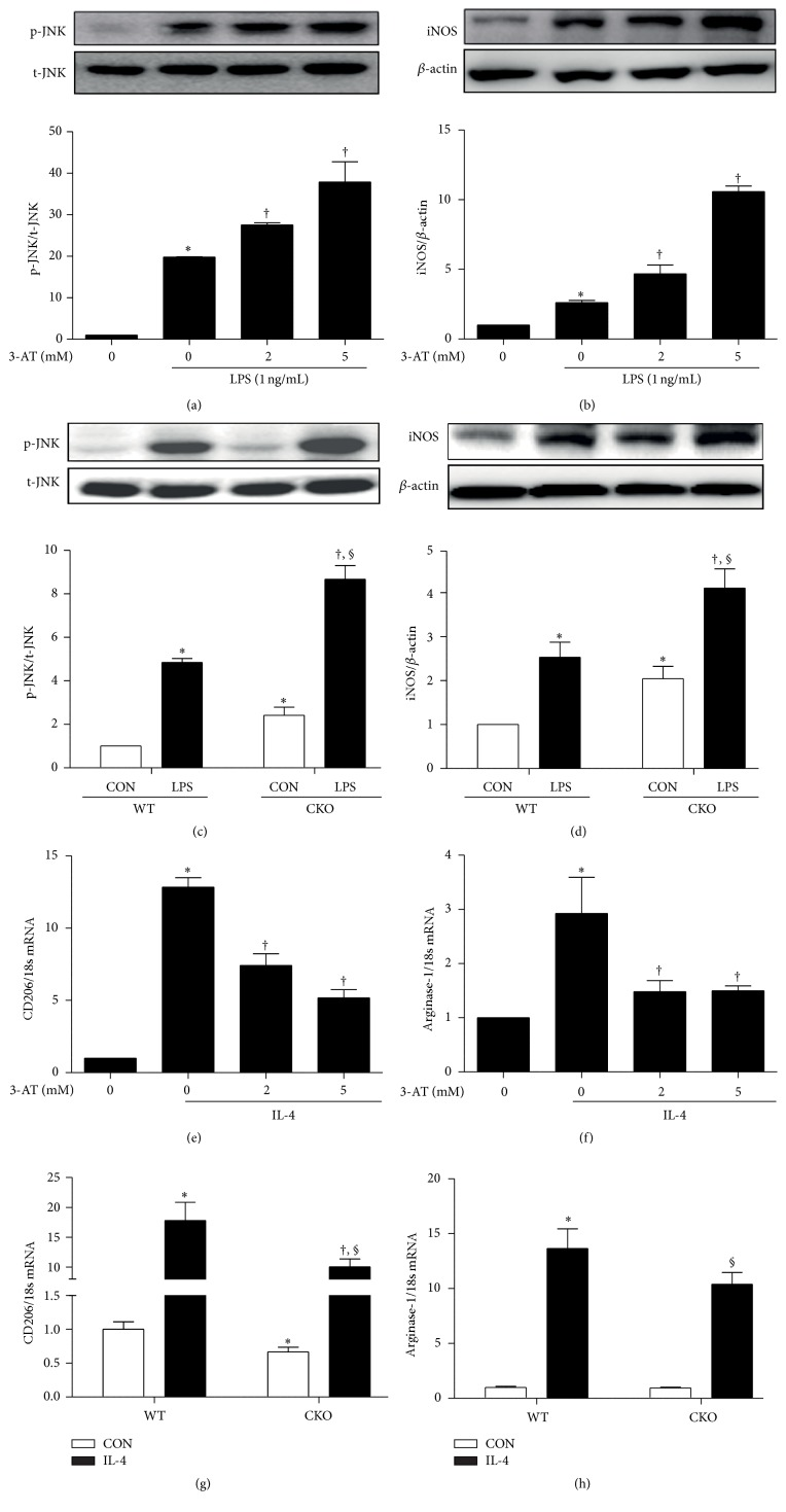 Pharmacological or genetic inhibition of catalase alters macrophage activation in response to LPS or IL-4. RAW264.7 cells were treated with 0, 1, 2, 5, and 10 mM 3-AT and stimulated with 1 ng/mL LPS for 6 h or 24 h. (a) JNK phosphorylation at 6 h and (b) iNOS levels at 24 h were quantified by western blot (upper panel) and densitometry (lower panel). ∗ p