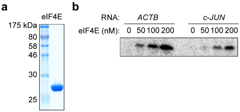 eIF4E recognizes the 5′ end of the c-Jun mRNA less efficiently than ACTB mRNA a , Coomassie blue stained SDS gel of recombinant human eIF4E expressed in E. coli. b , Phosphorimage of SDS gel resolving RNase-protected 32 P-cap-labeled ACTB or c-Jun 5′ UTR RNA crosslinked to eIF4E. The result is representative of three independent experiments. For gel source data, see Supplementary Figure 1 .