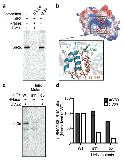 eIF3d cap-binding activity is required for efficient 48S initiation complex formation on specific mRNAs a , Phosphorimage of SDS gel resolving RNase-protected 32 P-cap-labeled c-Jun 5′ UTR RNA crosslinked to eIF3 in the presence of competitor ligands. b , Electrostatic surface view of the eIF3d cap-binding domain colored by charge, with a zoomed view of single stranded RNA (ssRNA) and cap analog modeled according to their positions bound to DXO 15 . Positive charge is colored blue and negative charge is in red, and the RNA gate is removed for clarity. c , Phosphorimage of SDS gel resolving RNase-protected 32 P-cap-labeled c-Jun 5′ UTR RNA crosslinked to wild type or helix α5 or helix α11-mutant eIF3. eIF3d-helix α5 mutant (D249Q/V262I/Y263A), helix α11 mutant (T317E/N320E/H321A). WT, wild type. d , Incorporation of c-Jun and ACTB mRNA into initiation complexes by wild type, helix α5, or helix α11-mutant eIF3d as measured by quantitative RT-PCR. mRNA-ribosome association is expressed as the ratio between the quantity of mRNA transcripts to 18S rRNA and normalized to the wild type sample. The results are representative of three independent experiments and given as the mean ± s.d. from a representative quantitative RT-PCR experiment performed in duplicate.