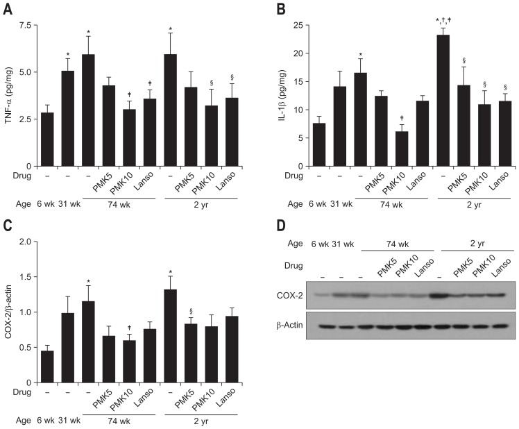 Effect of PMK-S005 on the levels of proinflammatory cytokines and COX-2 expression with aging. The mucosal levels of tumor necrosis factor α (TNF-α) (A) and interleukin 1β (IL-1β) (B) were determined using an enzyme-linked <t>immunosorbent</t> assay. COX-2 protein expression in the gastric mucosa was evaluated by Western blot analysis (C). A representative Western blot assay is shown (D). The results are expressed as the means±SEM of five animals per group. PMK5, 5 mg/kg of PMK-S005; PMK10, 10 mg/kg of PMK-S005; Lanso, 5 mg/kg of Lansoprazole. *p