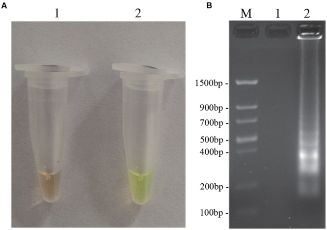 LAMP detection of D. bryoniae (DBJSJY2). Assessment is based on (A) LAMP for detection of D. bryoniae was using a fluorescence metal indicator (calcein) as a visual indicator. The positive reaction becomes yellowish-green, and the negative is still brown; (B) LAMP product was manifested as a ladder-like pattern on a 2.0% agarose gel. M: Trans DNA Marker II (Transgen Biotech, Beijing). In (A,B) , 1: Negative reaction (without target DNA), 2: Positive reaction (with target DNA). The same results were obtained in all three replicates.