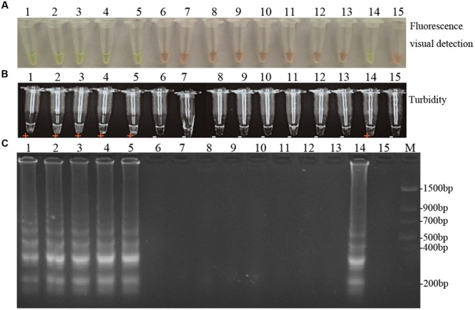 Specificity of LAMP detection of D. bryoniae . Assessment was based on (A) fluorescence metal indicator calcein visualization of color change, (B) the turbidity analysis of the LAMP products or (C) agarose gel electrophoresis analysis of the LAMP products. Lane 1, Didymella bryoniae (strain DBJSJY2) RGI; lane 2, Didymella bryoniae (strain DBAHHF2,) RGI; lane 3, Didymella bryoniae (strain DBZJNB5) RGI; lane 4, Didymella bryoniae (strain DBJSNJ60) RGI; lane 5, Didymella bryoniae (strain DBZJNB7) RGII; lane 6, Ascochyta pinodes ZJ-1; lane 7, Colletotrichum orbiculare NJ-1; lane 8, Pythium paroecandrum Drechsler ; lane 9, Alternaria alternata LH1401; lane 10, Fusarium verticillioide ; lane 11, Fusarium oxysporum f.sp. niveum Race 0; lane 12, Fusarium oxysporum f.sp. niveum Race 1; lane 13, Fusarium oxysporum f.sp. niveum Race 2; lane 14, positive control; lane 15, negative control. M, Trans DNA Marker II (Transgen Biotech, Beijing). The same results were obtained in two repeat assessments.
