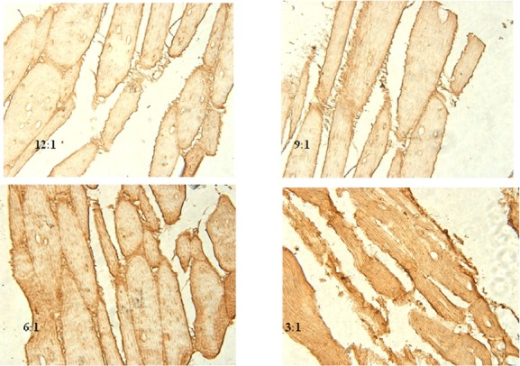 The gene expression of HDL-R in the leg muscle measured by in situ hybridization. Five to ten slides for each tissue were prepared, and images were taken using a binocular microscope (Olympus BX5; Olympus, Japan) coupled to a digital camera (Nikon H550L, Japan). The four images shown in Figure 1 were magnified 400 times. The in situ hybridization images show that the 12:1 and 9:1 groups had lower levels of labeling than the 6:1 and 3:1 groups. The positive rates of HDL-R expression in the 12:1 and 9:1 groups were significantly lower (p