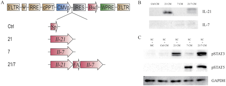 Establishment of vaccine cell lines by <t>lentiviral</t> transduction. ( A ) Lentiviral constructs used in this study. LTR, long terminal repeat. Ψ, packaging signal. RRE, Rev response element. cPPT, central polypurine tract. CMVp, CMV promoter. IRES, internal ribosome entry site. Bsd, blasticidin resistance gene. WPRE, woodchuck hepatitis virus posttranscriptional regulatory element. Sp, Signal peptide of IL-7. FA, furin cleavage site and P2A peptide. ( B ) Western blot analysis of secreted IL-21 and IL-7 in vaccine cell-conditioned media. Note that the two bands of IL-21 in the 21/7 CM lane represented two possible cleavage products: cleavage at furin site resulted in IL-21 + 4AA, while cleavage at P2A site resulted in IL-21 + 25AA. CM, conditioned medium. AA, amino acids. ( C ) Western blot analysis of STAT proteins activated in response to secreted IL-21 and IL-7. SC, splenocytes. MC, medium control. Full-length blots are presented in Supplementary Figure S1 .