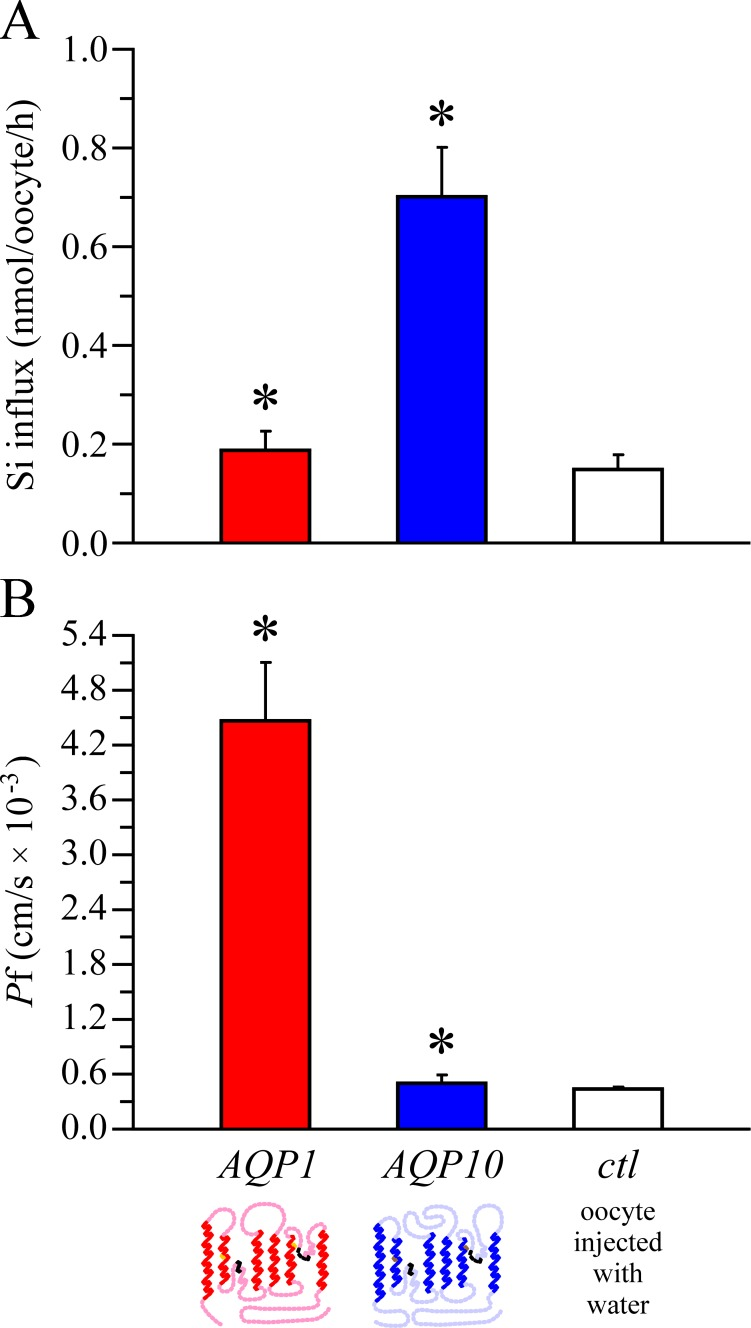 Si influx in oocytes expressing AQP1, expressing AQP10, or injected with water. (A) Oocytes incubated in medium B2 for 90 min at room temperature were assayed for Si content. Data are expressed as means ± SE of 10 oocytes among 25–26 experiments, using the asterisk to indicate that they are significantly different statistically (*, P