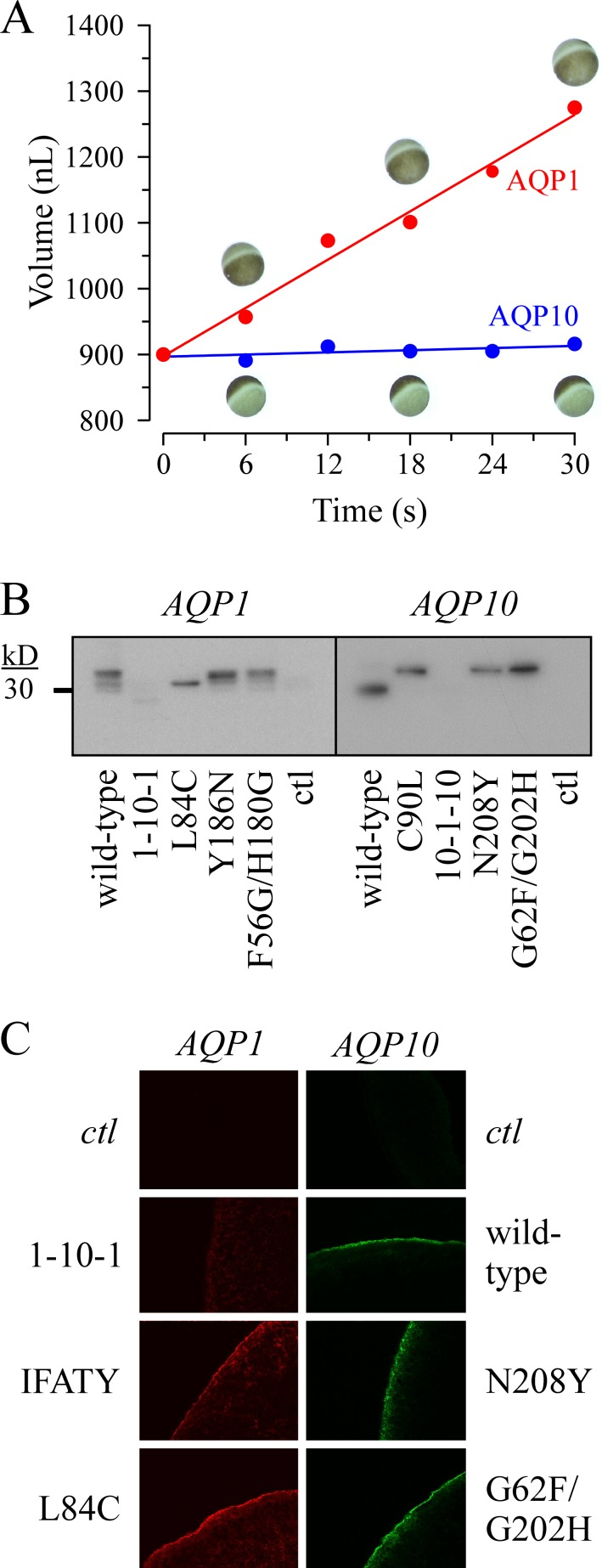 Illustrative experiments. (A) Water transport. After incubation in plain water, an oocyte expressing AQP1 and an oocyte expressing AQP10 were microphotographed at different time points for cell volume measurements. (B) Expression of wild-type and mutant AQPs by Western blot analyses. Samples correspond to cell surface proteins detected with an anti-AQP1 Ab (left) or an anti-AQP10 Ab (right). In each panel, water-injected oocytes were used as negative controls. (C) Immunofluorescence experiments. Cryosections postfixed in paraformaldehyde were obtained from AQP-expressing oocytes after a 3-d incubation in medium B1 at 18°C. Wild-type and mutant AQPs were detected with an anti-AQP1 Ab (left) or an anti-AQP10 Ab (right). For each Ab, water-injected oocytes were used as negative controls. Micrographs were taken under confocal microscopy and are shown in the panel for some of the AQPs: (top left) water, (second left) AQP1 1-10-1 , (third left) AQP1 LGRND→IFATY , (bottom left) AQP1 L84C , (top right) water, (second right) wild-type AQP10, (third right) AQP10 N208Y , and (bottom right) AQP10 G62F/G202H . Note that each of the micrographs is ~300 μm in actual width.