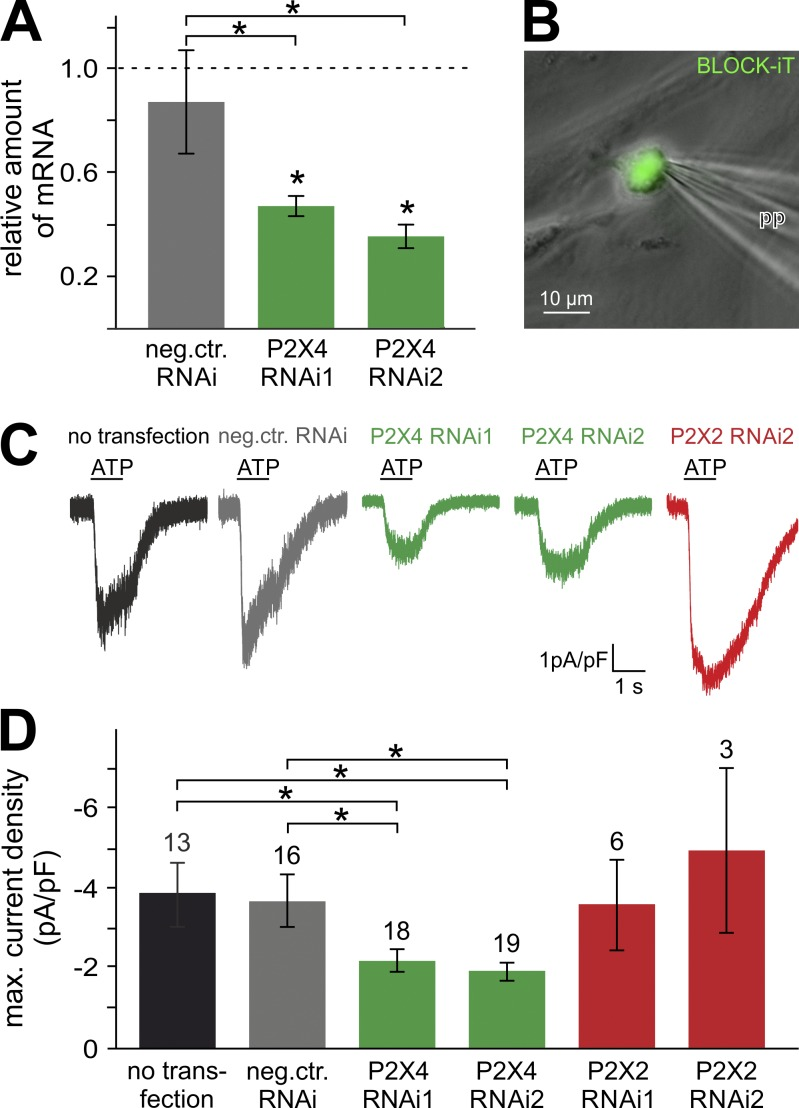 Posttranscriptional gene silencing confirms P2X4 as the high-affinity spermatogonial ATP sensor. (A) Bar chart quantifying siRNA-dependent selective knockdown of spermatogonial gene expression in vitro. When transfected with one of two siRNA constructs (green), knockdown of P2X4 expression was confirmed by quantitative real-time PCR. Transcript quantities (means ± SEM) are normalized to mRNA levels in untransfected spermatogonia and compared with cells treated with nontargeting siRNA controls (gray). Administration of both targeting siRNAs effectively reduced P2X4 transcription as compared with both untransfected spermatogonia and negative (nontargeting siRNA) controls. Asterisks (*) denote statistical significance, P