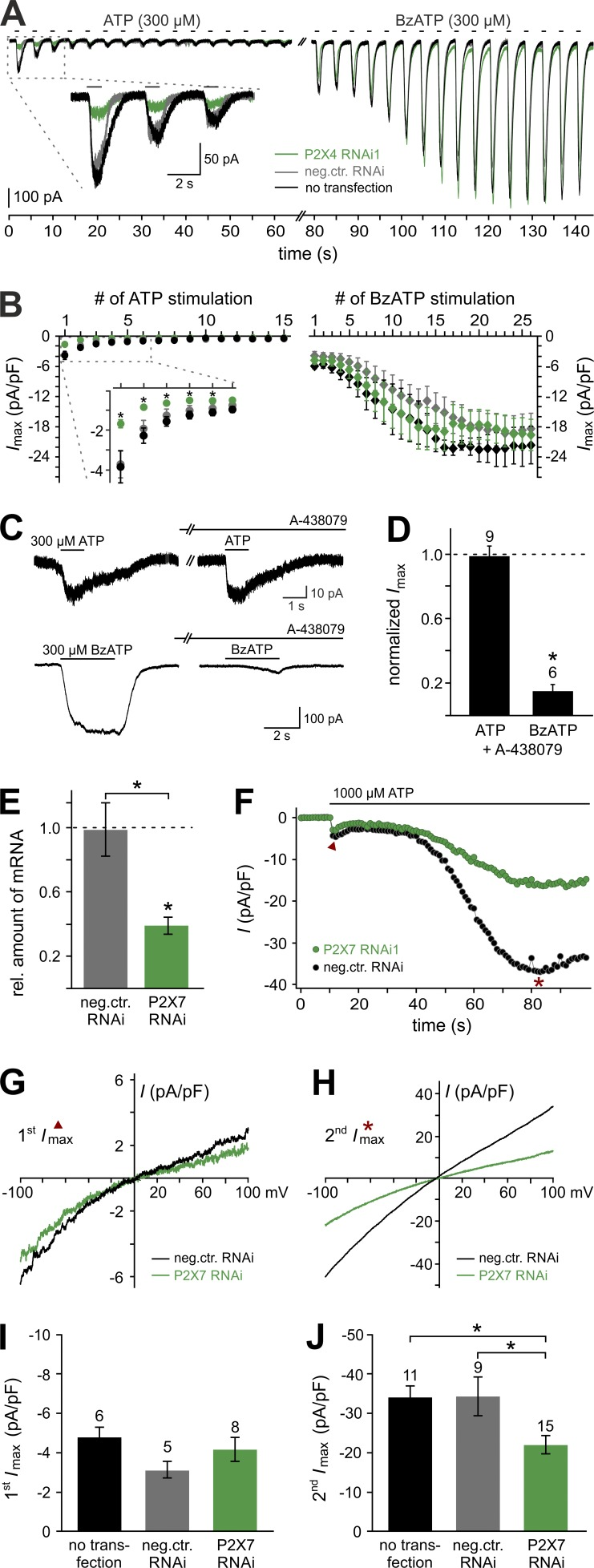 P2X7 constitutes the low-affinity spermatogonial ATP sensor. (A) Exemplary whole-cell voltage-clamp recordings of currents triggered by repetitive stimulation (1 s; ISI = 3 s; S 1 , S 6 ) with ATP (300 µM; left) or BzATP (300 µM; right), respectively. Traces from untransfected spermatogonia (black) and cells transfected with either nontarget negative control siRNA (gray) or a construct targeting <t>P2X4</t> (green) are overlaid. (B) Quantification of results from repetitive stimulation experiments as shown in A. Peak current densities (means ± SEM) are color coded and plotted as a function of stimulus repetition. Cells were analyzed under control conditions ( n = 33/13 [ATP/BzATP]; black), after transfection with nontargeting siRNA ( n = 16/23 [ATP/BzATP]; gray), and after P2X4 knockdown ( n = 16/23 [ATP/BzATP]; green). Inset (left) shows the data delimited by the dashed rectangle at an increased scale. Asterisks (*) indicate statistical significance, P