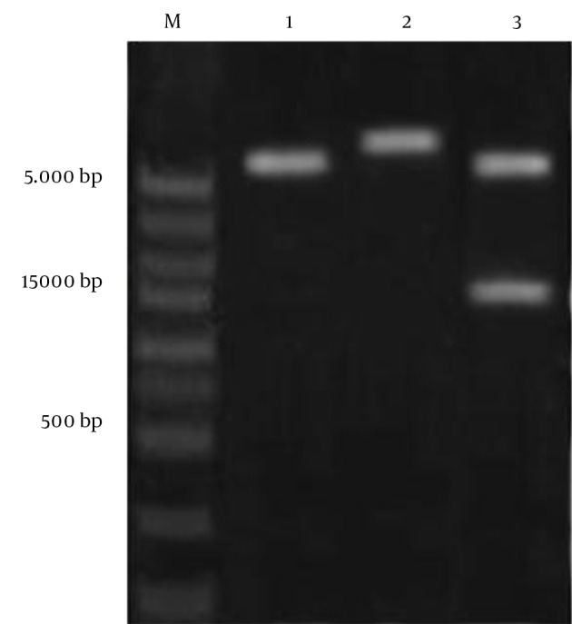 Screening of the fliC Gene by Restriction Enzyme Digestion The plasmids were extracted and digested with the appropriate restriction enzymes. Lane 1, pET-28a digested with BamHI ; lane 2, pET28a/ fliC digested with BamHI ; lane 3, pET28a/ fliC digested with BamHI and HindIII ; and lane M, 1 kb DNA size marker. The products were electrophoresed on 1% w/v agarose gel.
