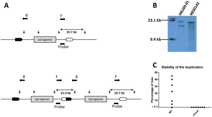 Duplication of isd in HKU09-01. (A) Schematic diagram of the ApaLI restriction sites in the single region of N920143 and the duplication in HKU09-01. Restriction sites are indicated by vertical arrows. The binding site of the DIG-labelled probe is indicated by the black dash. Predicted sizes of the fragments recognized by the probe are indicated. Primer binding sites and amplification direction (F and R) for the rapid screening for the duplication are indicated by horizontal filled arrows. (B) Results of the Southern blot. Chromosomal DNA of S . lugdunensis strains N920143 and HKU09-01 were digested with ApaLI and separated by electrophoresis. The DNA fragments were subsequently denatured, blotted onto a nylon membrane and hybridized with the DIG-labelled probe. Hybridization was detected using anti-DIG-Fab fragments conjugated to alkaline phosphatase. (C) HKU09-01 (wild-type and Δ recA mutant) cultures were plated out and 22 colonies were screened for the presence of the duplication using primer F/R indicated in A. The frequency of loss of the duplication of seven independent cultures is shown.
