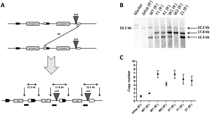 Amplification of isd . (A) Schematic diagram of the recombination event (RE) leading to the different numbers of fragments labelled in the Southern blot experiment. <t>ApaLI</t> restriction sites are indicated by vertical arrows. The binding site of the DIG-labelled probe is indicated by the black dash. Predicted sizes of the fragments recognized by the probe are indicated. (B) Results of the Southern blot. Chromosomal <t>DNA</t> of HKU:: tetK strains ( ΔrecA ) with different tetracycline resistance levels were digested with ApaLI and separated by electrophoresis. The DNA fragments were subsequently denatured, blotted onto a nylon membrane and hybridized with the DIG-labelled probe. Hybridization was detected using anti-DIG-Fab fragments conjugated to alkaline phosphatase. Y1, X1, W1, W2 and Z1 designate strains with different colony sizes on 8 μg/ml Tc. (C) qPCR experiment to determine the isd copy number. Known concentrations of N920143 DNA (one copy of isd ) were used to create the standard curves for isdJ and ori . Relative amounts of template ori and isdJ for each strain (all ΔrecA ) were measured. The value for ori was set to 1 and the template amount of isdJ was expressed in relation to this value, thereby giving the copy number of isdJ in the chromosome of each strain. The mean and SD of three experiments is shown.