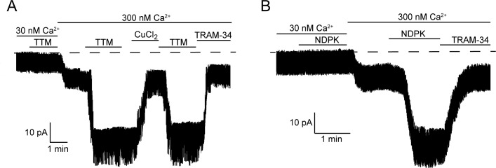 Calcium is required for activation of KCa3.1 by NDPK-B or TTM in inside-out membrane patches. Representative recordings of channel activity versus time from I/O patches isolated from 293-KCa3.1 cells as described in Figure 2 . All recordings were done in 500 µM GTP and either 30 or 300 nM free Ca 2+ as indicated. TTM (20 µM), NDPK-B (10 µg/ml), CuCl 2 (10 µM) and TRAM-34 (1 µM) were added as indicated. Shown are representative patch data from three independent experiments. DOI: http://dx.doi.org/10.7554/eLife.16093.004
