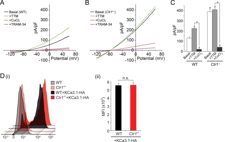 Basal KCa3.1 current is elevated in transfected MEFs from Ctr1 -/- mice. ( A , B ) Representative current vs. voltage (IV) plot recorded from a KCa3.1-transfected MEF from a wild-type (WT) mouse ( A ) or a Ctr1 -/- ( B ) mouse. After obtaining the basal current, TTM (20 µM) was perfused in the bath solution followed by CuCl 2 (10 µM) and then TRAM-34 (1 µM). ( C ) Summary bar graph of the TRAM-34-sensitive current at +60 mV for data measured from MEFs from WT or Ctr1 -/- mice. For statistical analysis, one-way-ANOVA was used, and the Bonferroni test was applied to compare the mean values. Data are displayed as mean ± SEM (n = 10 cells). *p≤0.01 versus Basal in WT MEFs and for +CuCl 2 versus +TTM. ( D ) Exofacial HA-tagged KCa3.1 was transfected into WT or Ctr1 -/- MEFs, and cell surface expression was assessed by FACs analysis following staining with anti-HA antibodies and with anti-mouse FITC antibodies in non-permeabilized cells. (i) Flow cytometry results of WT and Ctr1 -/- controls stained with only the secondary anti-mouse FITC antibody, or of WT + KCa3.1-HA and Ctr1 -/- + KCa3.1-HA MEFs stained with both anti-HA and anti-mouse FITC antibodies. (ii) Mean fluorescence intensity (MFI) of WT + KCa3.1-HA and Ctr1 -/- + KCa3.1-HA MEFs. DOI: http://dx.doi.org/10.7554/eLife.16093.005