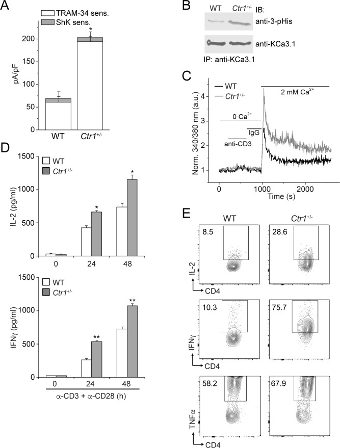 CD4 + T cells from Ctr1 +/ - mice are hyperactivated. Naive CD4 + T cells were isolated from spleens of wild-type (WT) or Ctr1 +/- mice and activated with anti-CD3 and -CD28 antibodies for 48 hr. ( A ) KCa3.1 channel activity was determined by whole-cell patch clamping as in Figure 1 . Shown is a summary bar graph of TRAM-34 (1 µM; KCa3.1) and ShK (1 nM; Kv1.3)-sensitive currents at +60 mV (n = 12 (WT) or 15 ( Ctr1 +/- )). For statistical analysis, one-way-ANOVA was used, and the Bonferroni test was applied to compare the mean values. Data are displayed as mean ± SEM (n = 10 cells). *p≤0.01 vs TRAM-34-sensitive current in WT. ( B ) KCa3.1 was immunoprecipitated from lysates of CD4 + T cells from WT or Ctr1 +/- mice and probed with a monoclonal antibody to 3-pHis (clone SC56-2) or KCa3.1 as indicated. ( C ) Activated cells were rested overnight, loaded with Fura-2, AM and attached to a poly-L-lysine-coated coverslip for 20 min. Calcium imaging was then performed in unstimulated cells and following stimulation with anti-CD3 and -CD28 antibodies (n = 80–100 cells). ( D ) ELISA to quantify IL-2 and IFN-γ in the supernatants. Statistical significance was calculated using Student's t -test (*p