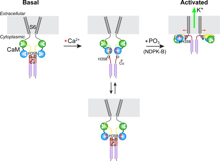 Model for KCa3.1 activation by calcium and histidine phosphorylation. For clarity, only two of the four KCa3.1 subunits and calmodulin (CaM) are shown. In the basal state (no calcium; left panel), the CaM C lobe (green sphere) is bound to the N-terminal segment of the calmodulin-binding domain (CBD, yellow) in KCa3.1 ( Schumacher et al., 2004 ). The transmembrane S6 helices close off the channel on the cytoplasmic side. At the C terminus of KCa3.1 is a coiled-coil region that forms a four-helix bundle (violet cylinders; S.R.H., unpublished data). Based on coiled-coil prediction software, it is probable that the region containing His358, which is just C-terminal to the CBD, also forms a four-helix bundle (maroon cylinders), with His358 (pentagon) occupying an inward-facing 'a' position in the heptad repeat. This would position the four copies of His358 for coordination of a Cu(II) ion on the axis of the four-helix bundle, which would stabilize the four-helix bundle and act to resist the conformational changes induced by calcium binding to the CaM N lobe (blue sphere). An increase in intracellular calcium induces conformational changes in the CBD that partially destabilize copper binding (middle panel), providing access to His358 for phosphorylation by NDPK-B (or copper chelation by TTM). Upon phosphorylation of His358, copper binding is abrogated, and the calcium-induced conformational changes in the CBD lead to channel opening (right panel; exact mechanism not known) ( Adelman et al., 2012 ; Sachyani et al., 2014 ). DOI: http://dx.doi.org/10.7554/eLife.16093.007