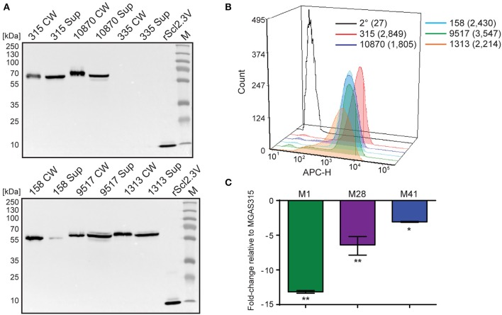 Characterization of the scl2.3 locus in M3-type GAS. (A) Assessment of Scl2.3 production by M3-type GAS. The same cell wall (CW) and culture supernatant (Sup) protein samples prepared from exponential phase cultur es of several M3-type strains (used in Figures 2A,E ) were analyzed by western immunoblotting, using anti-rScl2.3V rabbit polyclonal antibody. Recombinant protein rScl2.3V, corresponding to the variable region of Scl2.3 protein, was used as a positive control. Expected molecular masses based on MGAS315: Scl2.3, 52.5 kDa; rScl2.3V, 10.1 kDa. Aberrant migration of detected Scl2.3 variants is characteristic of Scl proteins. M, PageRuler™ Plus Prestained Protein Ladder. (B) Detection of Scl2.3 on the surface of M3-type GAS. Flow cytometry analysis of several M3-type strains is shown using anti-rScl2.3V rabbit polyclonal antibody (color-shaded histograms) or a secondary-only control (2° sample, black outlined histogram). Median fluorescence intensities (MFI) are shown in parentheses for each strain. (C) Assessment of scl2 transcription. Fold-change of scl2 transcription levels are shown compared to scl2.3 transcription in M3-type MGAS315. qRT-PCR was performed on reverse-transcribed RNA obtained from exponential phase cultures. Results are shown from three independent experiments, each performed in triplicate wells. Standard errors and statistical analysis were computed from averaged ΔCt values for each biological replicate prior to normalization against the endogenous reference gene tufA ; * P ≤ 0.05, ** P ≤ 0.01 (student's t -test).