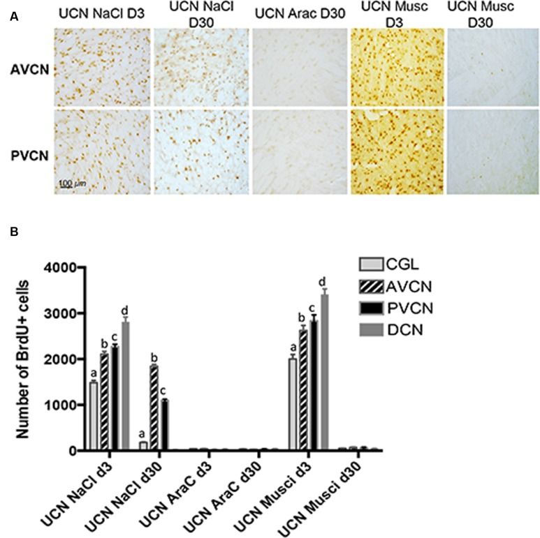 Newborn cells generated 3 days after UCN survived up to 1 month depending on the treatment administrated. (A) Illustrations of BrdU immunoreactivity in both the deafferented AVCN and PVCN at different time points (post-lesion D3 or D30) in UCN animals treated with NaCl-, AraC-, or Muscimol-intra-cerebroventricular infusion. Note that in AraC treated animals, no BrdU+ cells were observed at D3 (data not shown) or D30. Scale bar: 100 μm and n = 4 animals per group. (B) Histograms showing the effects of drug infusion (NaCl, AraC, or Muscimol) on the number of BrdU-immunopositive cells observed in the deafferented cochlear nuclei. Only values recorded on the lesioned side are illustrated. Different letters indicate significant differences between all other groups of animals. Analyzes were assessed by ANOVA followed by the Scheffé test for all VN and groups ( p