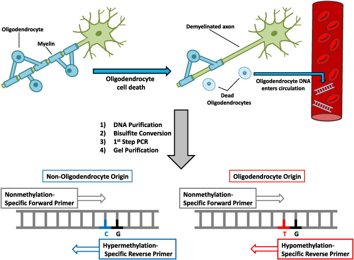Illustrative representation of biomarker assay used to detect oligodendrocyte death in multiple sclerosis. Myelin-producing oligodendrocytes die and release genomic DNA into circulation. Blood is collected from the patient, DNA is purified, and bisulfite converted. Post-bisulfite conversion, samples are run on first-step PCR using methylation-unspecific primers and loaded onto an agarose gel. First-step PCR product is extracted and used as a template for qPCR utilizing methylation-specific primers.