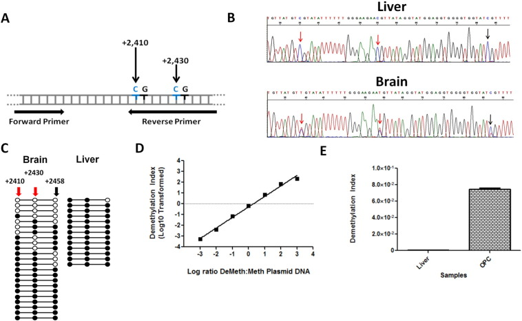 Methylation-specific primers display high specificity and sensitivity and can detect demethylated MOG-DNA in human brain and liver. A. A depiction of MOG gene region utilized for human methylation-specific qPCR analysis; cytosines at bps + 2410 and + 2430 from MOG transcription start site inco rporated into reverse primer sequence. B. Sanger sequencing results of bisulfite treated DNA from human tissues. Arrows point toward CpG sites where cytosines (C) are preserved in the methylated sample (Liver), or converted to thymines (T) in a sample containing demethylated CpGs, leading to a mixed population of C′s and T's (Brain). Red arrows indicate CpGs incorporated into reverse primers. C. DNA from the brain is differentially methylated in the MOG gene compared to DNA from the liver. Sequence analysis was performed on first-step PCR product of each sample, 13 clones of liver and 23 clones of brain DNA are shown (○ represent demethylated cytosines; ●, methylated cytosines). Locations in relation to the MOG transcription start site are listed; methylation-specific human primers incorporate the CpG sites at bp + 2410 and + 2430. D. Methylation-specific primers tested using plasmids containing methylated and demethylated human MOG-DNA inserts over a wide range of serial dilutions (R 2 = 0.992, p