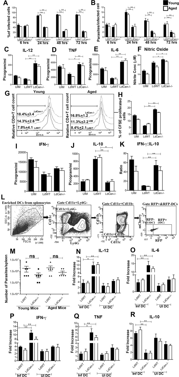 Analysis of young and aged mice derived dendritic cell function upon LdWT and LdCen-/- infection in vitro . BMDCs isolated from young and aged groups of mice were infected with LdWT or LdCen-/- stationary-phase promastigotes (5:1, parasite to DCs ratio) and intracellular parasite numbers were visualized by Giemsa staining and estimated microscopically at 6, 24, 48 and 72h post-infection. (A) Infection efficiency (% of infected cells) and (B) intracellular growth (parasites per infected cell) were recorded. To measure parasite load in these cultures, a minimum of 300 BMDCs were counted. In a separate experiment BMDCs were infected with parasites and stimulated with LPS (1 μg/ml) for 24h. Culture supernatants were collected to analyze IL-12 (C), TNF (D) IL-6 (E) production by ELISA and NO (F) production by the Griess assay. The data presented are representative of two independent experiments. T cell proliferation and cytokine production upon coculture of parasite-infected BMDCs with OVA-specific transgenic T cells. BMDCs obtained from young and aged BALB/c mice were pulsed with OVA peptide and were either left uninfected or infected with LdWT or LdCen-/- for 24h. CD4 + T cells were purified from age matched young and aged DO11.10 transgenic mice, stained with CFSE and co-cultured with parasite infected BMDCs for 5 days. (G) T cell proliferation was estimated by flow cytometry by studying CFSE dilution of gated CD4 + T cells and represented by the histogram. The staggered histogram overlay displays CD4 + T cell proliferation pattern as visualized by CFSE dilution by flow cytometry. Cell proliferation was done in triplicates and histograms representative of mean values were overlaid for figure. The black line on histogram over lay represents % proliferated cells gated in CD4 + T lymphocytes. (H) The bar diagram representing the quantitative CFSE cell proliferation. (I, J) Culture supernatants were collected at day 5 of coculture to assay IFN-γ and IL-10 by ELISA. (K) IF