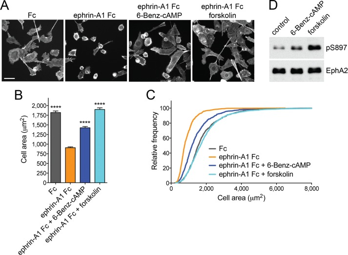 PKA activation inhibits EphA2-dependent cell retraction. (A) Representative images of <t>phalloidin-labeled</t> PC3 cells stimulated for 12 min with 0.5 μg/ml control Fc or ephrin-A1 Fc or pretreated for 40 min with 20 μM forskolin or 200 μM of the PKA agonist 6-Benz-cAMP before ephrin-A1 Fc stimulation. Scale bar, 50 μm. (B) Histogram showing average cell areas ± SE under the different conditions (693 cells/condition from three experiments in each of which 77 cells/well from three wells were counted). **** p