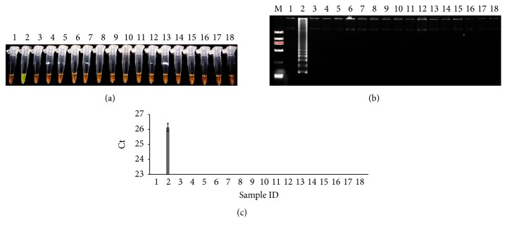 Specificity test of UMPS gene in tobacco and nontobacco plants. (a) LAMP method through direct visual detection with SYBR Green I; (b) LAMP method on 2% agarose gel electrophoresis analysis; (c) qPCR method. Lane 1 : negative control (NTC); lane 2 : positive control (PTC); lanes 3–18 : Chinese jasmine, alfalfa, Altingia , canola, Pittosporum , Daphniphyllum , mondo grass, sapodilla, garden petunia, castor oil, indica rice, coriander, spinach, pomegranate, watermelon, and eggplant; lane M : Trans 2K DNA marker. Ct was expressed as mean Ct ± SD from 3 independent experiments with three replications.