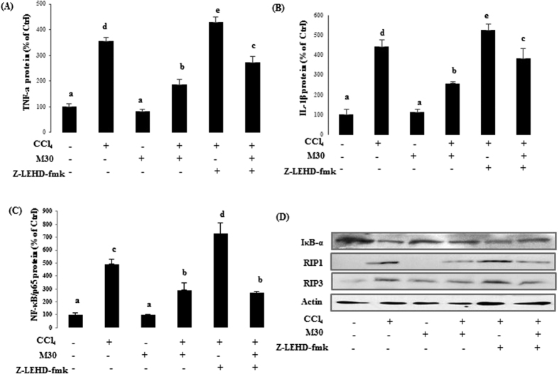 Caspase-9 inhibition remarkably elevated necroptotic markers induced by inflammation in mice. In mouse liver, TNF-α ( A ) and IL-1β ( B ) levels, as well as DNA-binding activity of NF-κB ( C ) were detected by ELISA. Protein levels were also measured by western blotting including total IκB-α protein expression in cytosol, RIP1 and RIP3 in mouse liver ( D ). Data presented are expressed as Mean ± SD (n = 6) and experimental groups marked by different letters represent significant differences between groups at p