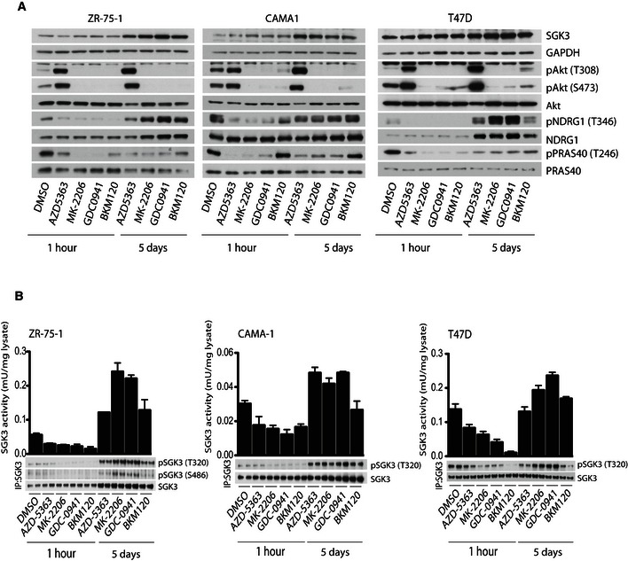 Prolonged treatment with Class I PI 3K inhibitors leads to upregulation of SGK 3 The indicated cell lines were treated with either 1 μM MK‐2206, 1 μM AZD5363, 1 μM GDC0941 or 1 μM BKM120 for the indicated times. Cell lysates were subjected to immunoblot analysis with the indicated antibodies. The indicated cells were treated as in (A) and SGK3 was immunoprecipitated from the lysates using an anti‐SGK3 antibody. The immunoprecipitates (IP) were subjected to in vitro kinase assay by measuring phosphorylation of the Crosstide substrate peptide in the presence of 0.1 mM [γ‐ 32 P]ATP in a 30 min 30°C reaction (upper panel) followed by immunoblot analysis with the indicated antibodies (lower panel). Kinase reactions are presented as means ± SD for triplicate reaction. Source data are available online for this figure.