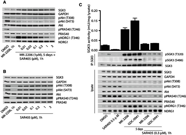 Further evidence that SGK3 activity induced by inhibition of PI3K/Akt is regulated by hVps34 ZR‐75‐1 cells were treated with 1 μM MK‐2206 for 5 days, and then, 1 h prior to cell lysis, cells were further treated with increasing doses of SAR405. ZR‐75‐1 cells cultured in serum in the absence of Akt inhibitor were treated for 1 h with the indicated concentrations of SAR405. The cell lysates were analysed by immunoblot using the indicated antibodies. ZR‐75‐1 cells were treated for 5 days with 1 μM MK‐2206 or 1 μM GDC0941. One hour prior to lysis, the cells were incubated in the presence of absence of 0.3 μM SAR405. SGK3 was immunoprecipitated from lysates and subjected to in vitro kinase assay by measuring phosphorylation of the Crosstide substrate peptide in the presence of 0.1 mM [γ‐ 32 P]ATP in a 30 min 30°C reaction (upper panel). Kinase reactions are presented as means ± SD for triplicate reaction. Immunoprecipitates (IP) and lysates were also analysed by immunoblot with the indicated antibodies.