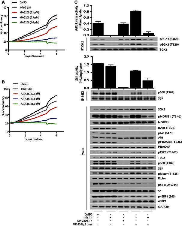 Akt inhibition induces dose‐dependent inhibition of cell growth in BT‐474c cells in vitro and stimulates SGK3 to activate mTORC1 BT‐474c cells were treated with DMSO, 3 μM 14h and the indicated doses of MK‐2206 (A) or AZD5363 (B) inhibitors. Cell confluency was measured on the Incucyte ZOOM every 4 h for up to 6 days. BT‐474c cells were treated for 1 h or 5 days with 1 μM MK‐2206 or 3 μM 14h, as indicated. SGK3 (upper panel) and S6K1 (middle panel) were immunoprecipitated and subjected to in vitro kinase assay by measuring phosphorylation of the Crosstide substrate peptide in the presence of 0.1 mM [γ‐ 32 P]ATP in a 30 min 30°C reaction. Kinase reactions are presented as means ± SD for triplicate reaction. Immunoprecipitates (IP) were also analysed by immunoblot with the indicated antibodies. The cell lysates were subjected to immunoblot analysis using the indicated antibodies (bottom panel). Source data are available online for this figure.