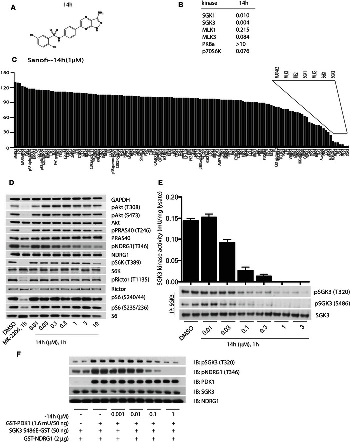 14h selectively suppresses both the activity and activation of SGK 3 by PDK 1 and mTORC 2 Chemical structure of the Sanofi‐14h SGK inhibitor. IC 50 values of Sanofi‐14h SGK inhibitor on the indicated recombinant kinases. Protein kinase profiling undertaken against the Dundee panel of 140 protein kinases in the presence of 1 μM Sanofi‐14h at the International Centre for Protein Kinase Profiling. The result for each kinase is presented as a mean kinase activity of the reaction taken in triplicate relative to a control reaction where the inhibitors were omitted. Abbreviations and assay conditions are described at http://www.kinase-screen.mrc.ac.uk . ZR‐75‐1 cells were treated for 1 h with the indicated concentrations of 14h. The cell lysates were analysed by immunoblot analysis using the indicated antibodies. ZR‐75‐1 cells were treated for 1 h with the indicated concentrations of 14h. SGK3 was immunoprecipitated from cell lysates and subjected to in vitro kinase assay by measuring phosphorylation of the Crosstide substrate peptide in the presence of 0.1 mM [γ‐ 32 P]ATP in a 30 min 30°C reaction (upper panel). Kinase reactions are presented as means ± SD for triplicate reaction. Immunoprecipitates (IP) were also analysed by immunoblot with the indicated antibodies. The effect of the indicated concentration of 14h on the ability of SGK3[S486E]‐GST to be activated by PDK1 in the presence of PtdIns(3)P was assessed as described in Fig 4 .