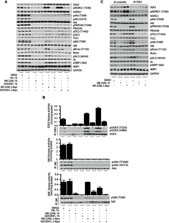 SGK 3 counteracts inhibition of the PI 3K/Akt pathway by phosphorylating TSC 2 and stimulating mTORC 1 ZR‐75‐1 cells were treated for 1 h or 5 days with 1 μM MK‐2206, 1 μM GDC0941 or 3 μM 14h inhibitors, alone or in combination, as indicated. The cell lysates were analysed by immunoblot using the indicated antibodies. SGK3 (upper panel), Akt1 (middle panel) and S6K1 (lower panel) were immunoprecipitated from the same cell lysates and subjected to in vitro kinase assay by measuring phosphorylation of the Crosstide substrate peptide for kinases in the presence of 0.1 mM [γ‐ 32 P]ATP in a 30 min, 30°C reaction. Kinase reactions are presented as means ± SD for triplicate reaction. Immunoprecipitates (IP) were also analysed by immunoblot with the indicated antibodies. SGK3 was knocked down in ZR‐75‐1 cells by using shRNA probe B and compared to a control shRNA probe, named sh scramble. After infection, the cells were kept for 2 days in puromycin selection media and then seeded for the experiment. The cells were treated with 1 μM MK‐2206 for 1 h or 5 days. The cell lysates were subjected to immunoblot analysis with the indicated antibodies.