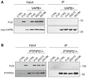 FUS does not bind VAPB or PTPIP51 in <t>immunoprecipitation</t> assays from transfected HEK293 cells Cells were transfected as indicated with control vector (CTRL), HA‐FUS + CTRL, myc‐VAPB + CTRL, or myc‐VAPB + either HA‐FUS, HA‐FUSR521C or HA‐FUSR518K. VAPB was immunoprecipitated via the myc‐tag and the samples probed on immunoblots for VAPB using rabbit VAPB antibody and for co‐immunoprecipitating FUS via the HA tag. Input VAPB and FUS were detected using myc and HA antibodies. Cells were transfected as indicated with control vector (CTRL), HA‐FUS + CTRL, HA‐PTPIP51 + CTRL or HA‐PTPIP51 + either HA‐FUS, HA‐FUSR521C or HA‐FUSR518K. PTPIP51 was immunoprecipitated using rat anti‐PTPIP51 and the samples probed for PTPIP51 using rabbit anti‐HA antibody and for co‐immunoprecipitating FUS using rabbit FUS antibody. Input PTPIP51 and FUS were detected using PTPIP51 and EGFP antibodies, respectively.