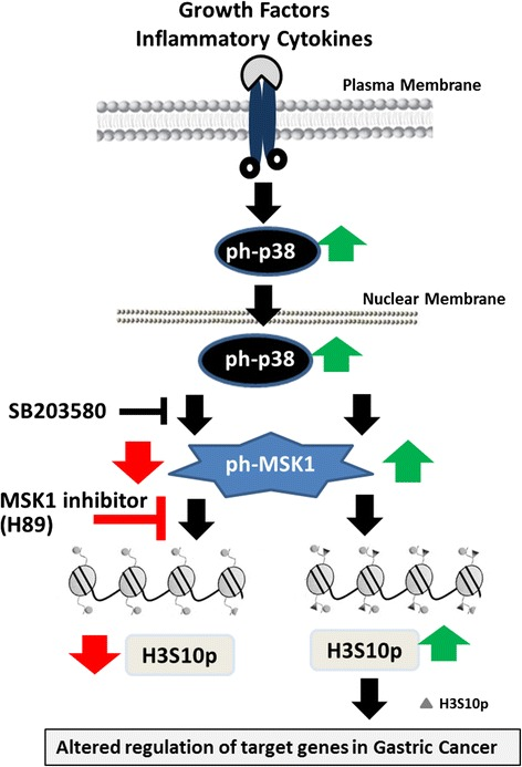 Schematic representation showing p38-MAPK/MSK1 governing upregulation of H3S10ph and MSK1 as a potential target in gastric cancer