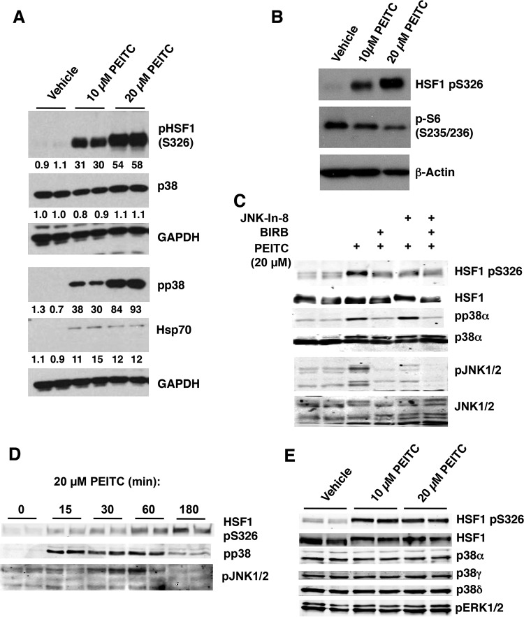PEITC activates p38 and JNK1/2 MAPK, and inhibits mTOR. MDA-MB-231 cells (2.5 × 10 5 per well) growing in six-well plates were treated with vehicle (0.1% acetonitrile) or PEITC for either 24 h (A and B), 3 h (C and E), or for the indicated periods of time (D). The levels of HSF1, pS326 HSF1, pS235/6 S6, Hsp70, the p38 isoforms α, γ, and δ, phosphorylated p38 (pp38), phosphorylated p38α (pp38α), JNK1/2, and phosphorylated JNK1/2 (JNK1/2) were detected by Western blot analysis.