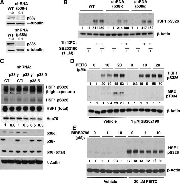 Deletion or inhibition of p38γ MAPK reduces the levels of pS326 HSF1 in cells. (A) Immunoblotting for p38 γ and δ in A431 cells, which either express both p38γ and p38δ (WT) or in which p38γ or p38δ had been stably knocked down using selective shRNA. (B) A431 cells (5 × 10 5 per well, WT or p38γ or p38δ deficient) were preincubated for 1 h with vehicle (0.1% acetonitrile) or SB202190, and exposed to heat shock (42°C) for a further 1 h. (C) p38γ or p38δ was stably knocked down in MDA-MB-231 cells using selective shRNA. The levels of total HSF1, HSF1 phosphorylated at S326, total p38, p38γ, and p38δ, and Hsp70 were detected by Western blot analysis. (D and E) MDA-MB-231 cells (5 × 10 5 per well) grown in six-well plates were pretreated with vehicle (0.1% acetonitrile), SB202190, or BIRB0796 for 1 h and subsequently either treated with vehicle (0.1% acetonitrile) or PEITC for a further 1.5 h. HSF1 phosphorylated at S326 (B to E) and MK2 phosphorylated at T334 (D) were detected by Western blot analysis. The levels of α-tubulin (A) or β-actin (B to E) served as loading controls.