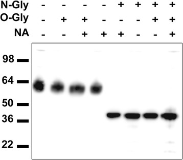 Deglycosylation assay. Western blot of human cerebellum protein extract treated with N-Gly (N-glycosidase), O-Gly (O-glycosidase), and/or NA (neuraminidase) and probed with a commercial rabbit anti-human IgLON5 antibody. The IgLON5 protein is completely deglycosylated only when the N-linked glycans are removed reaching its predicted molecular weight of 36 kDa according to the amino acid sequence
