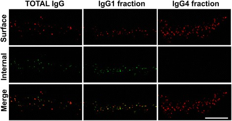 IgG1 <t>IgLON5</t> antibodies internalize IgLON5 clusters. Hippocampal neurons treated for 3 days with total IgG, IgG1, and IgG4 IgLON5 antibodies. The immunofluorescence strategy to differentiate surface and internal human IgG bound to IgLON5 is conducted as in Fig. 8 . The IgG1 antibodies alone could reproduce the same effects seen with the total IgG; meanwhile, the IgG4 did not produce internalization. Scale bar = 5 μm