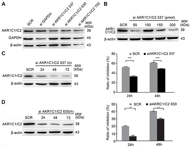 EDHB sensitivity of AKR1C1/C2-depleted KYSE 180 cells A. The efficiency of AKR1C1/C2 knockdown using different AKR1C1/C2 siRNAs was determined by Western blot analysis. B. KYSE 180 cells were transfected with various concentrations of siAKR1C1/C2 537 using Lipofectamine 2000. Knockdown efficiency was determined by Western blot analysis. C, D. A total of 50 pmol of siAKR1C1/C2 537 (C) or siAKR1C1/C2 630 (D) was transfected using <t>Lipofectamine</t> 2000 for 3 days. During this time, KYSE 180 cells were treated with 40 μg/ml EDHB. The MTT assay was performed after EDHB treatment for 1 or 2 days, and the ratio of inhibition was determined relative to untreated cells (mean + S.E.M. for triplicate samples).