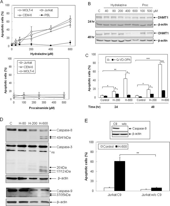 Induction of caspase-dependent apoptosis by hydralazine in leukemic T cells A. Jurkat, CEM-6, MOLT-4 and peripheral blood lymphocytes (PBL) were treated with different doses of hydralazine (40, 80, 200, 400 and 600 μM; upper panel) or procainamide (100, 250 and 500 μM; lower panel) for either 48 hr (T cell lines) or 72 hr (PBL in upper panel). B. Expression of DNTM1 was determined by Western blotting in Jurkat cells after treatment for 24 and 48 hr without (C) or with the indicated concentrations of hydralazine and procainamide. C. Jurkat cells were preincubated for 1 hr in the absence or in the presence of the caspase inhibitor Q-VD-OPh (20 μM) before treatment without (control) or with 200 and 600 μM hydralazine (H-200 and H-600, respectively) for 24 and 48 hr. D. Activation of caspases-8, -3 and -9 was determined by Western blot in Jurkat cells treated without (C) or with 80, 200 and 600 μM hydralazine (H-80, H-200 and H-600, respectively) for 48 hr. β-Actin was used as loading control. E. Caspase-9-deficient (Jurkat w/o C9) and caspase-9-reconstituted (Jurkat C9) Jurkat cells were treated without (control) or with 600 μM hydralazine (H-600) for 48 hr. The inset figure shows the levels of caspase-9 and β-actin in caspase-9-reconstituted and -lacking cells, as determined by Western-blot. A nonspecific protein was detected by the caspase-3 antibody (*ns). In A, C and E, sub-G1 apoptotic cells were analyzed by flow cytometry. Error bars show SEM from three independent experiments. *p