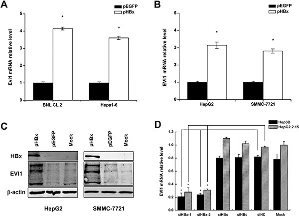 Enforced HBx expression up-regulates EVI1 in both mouse and human liver cells ( A ) Mouse Evi1 mRNA expression after the transfection of pEGFP-HBx or the control pEGFP plasmid in mouse BNL CL.2 and Hepa1-6 cells. ( B ) Human EVI1 mRNA expression after the transfection of pEGFP-HBx or the control pEGFP plasmid in human HepG2 and SMMC-7721 cells. ( C ) Western blot analysis of human EVI1 protein expression in HepG2 and SMMC-7721 cells transfected with pEGFP-HBx or respective controls, and the no treatment control cells (mock). ( D ) Human EVI1 mRNA levels after the transfection of HBx-specific siRNA (siHBx-1 or siHBx-2) or HBs-specific siRNA or HBc-specific siRNA or control siRNA (siNC) in Hep3B and HepG2.2.15 cells. Data are shown as means and standard deviations from at least three independent experiments. * P
