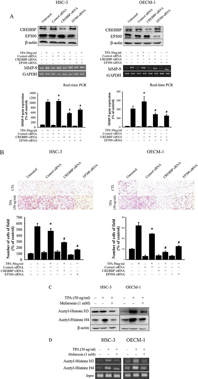 Critical role of CREBBP and EP300 in TPA-induced transcriptional inhibition of MMP-9 in HSC-3 and OECM-1 cells ( A ) HSC-3 and OECM-1 cells were transfected with the CREBBP and EP300 siRNA, and then treated with TPA (50 ng/mL) for 24 h. MMP-9 mRNA levels were determined by RT-PCR and real-time PCR. ( B ) Cell migration was measured using transwell for 24 h (OECM-1 cell) and 48 h (HSC-3 cell) with polycarbonate filters, respectively. The values represented the means ± SD of at least three independent experiments. * p