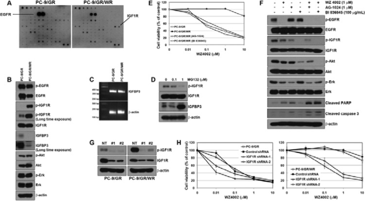 Activation of IGF1R was associated with the resistance to WZ4002 ( A ) Cells were grown to confluence, and then cell lysates were prepared by protein extraction. Phospho-receptor tyrosine kinase array was performed as described in Materials and Methods. ( B ) EGFR and IGF1R-related signal molecules in basal level were assessed using Western blot analysis. ( C ) IGFBP3 mRNA was determined by RT-PCR. ( D ) PC-9/GR/WR cells were treated with MG132 for 6 h. Restored IGFBP3 was determined by Western blot analysis. ( E ) Cells were treated with WZ4002, AG-1024, BI 836845, or a combination of WZ4002 with one of the other 2 drugs for 72 h. Cell viability was measured by MTT assay. ( F ) PC-9/GR/WR cells were treated with drugs as in (E). After 48 h, cells were harvested and subjected to Western blotting using the indicated antibodies. ( G and H ) Lentiviral constructs containing negative control (NT) and IGFR shRNAs were infected into PC-9/GR or PC-9/GR/WR cells, and IGFR silencing was confirmed by Western blot analysis (G). After the selection of puromycin, cells were treated with the indicated doses of WZ4002, and then cell viability was determined by MTT assay (H).